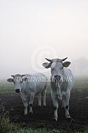 Marchigiana in de mist