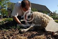 Onderzoek dood schaap