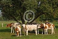 Montbéliarde onder de fruitboom