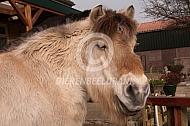 Zeer oud Fjordenpaard