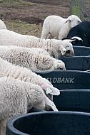 Veluwse heideschapen lammeren drinken