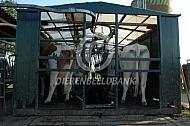 Koeien in doorloopmelkwagen