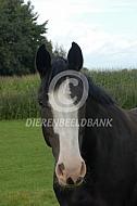 Paard, Groninger type