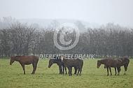 Paarden in de regen