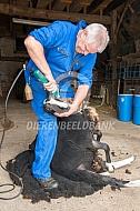 Schaapscheerder aan het werk