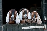 Drie Nubische geiten