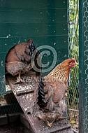 Welsumer kippen
