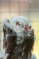 Oud-Hollandse kapucijn duif