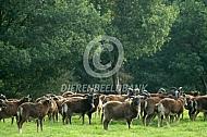 Kudde soay schapen