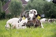 Belgisch witblauw kalf