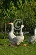 Witte boerengans