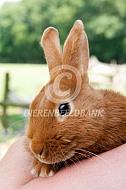 Thrianta konijn