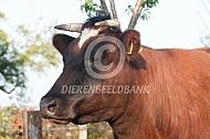 Brandrode koe met horens