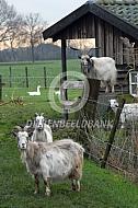 Nederlandse Landgeit