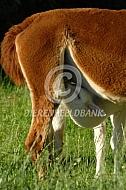 Alpaca met drinkende cria
