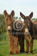 Poitou ezels