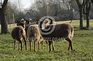 Soay schapen