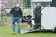 Vervoer van geiten (bonte geit)