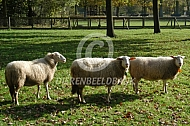 Kempische heideschapen