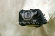 Zwarte neus van het White Park cattle