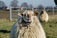 Mergelland schaap