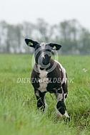 Nederlandse bonte lammeren