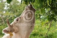 Charolais koe eet van boom