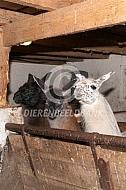 Lama's op stal