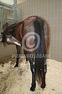 Paard met schimmelinfectie