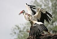 Vechtende ooievaar op nest
