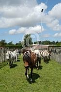 Falabella paarden in de wei
