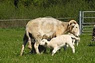 Wiltshire Horn met lam