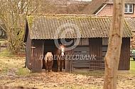 Twee pony's in hun schuilstal