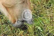 Fjorden paard graast