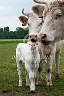 Charolais kalf met koe