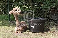 Appeloosa alpaca cria bij waterbak