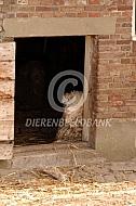 Angora geit voor haar stal