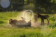Rollende Poitou ezel met veulen