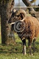 Soay schaap ram