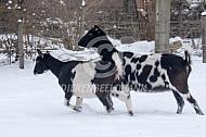 Bonte geiten in de sneeuw