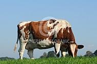 Roodbonte Holstein Friesian