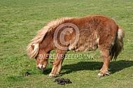 Hoefbevangen pony