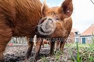Tamworth varkens