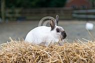 Minirex of kleinrex konijn (midden geel marter)