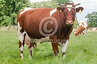Baggerbonte koeien