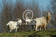 Witte Kempense geit