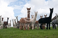 Kudde gecastreerde alpacahengsten
