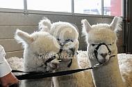 Drie witte alpaca's