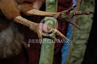 Kip met een voetzoolinfectie of Bumblefoot