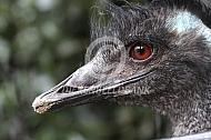 Close-up kop van een emoe